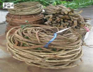 Ph Forest woody vines Cameroon as anti HIV